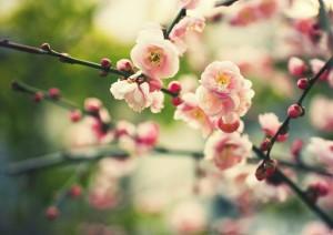 cerisier printemps